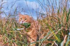 Красивый красный кот с зелеными глазами Стоковые Изображения RF