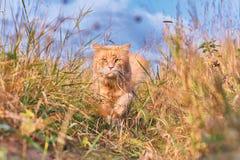 Красивый красный кот с зелеными глазами Стоковая Фотография RF