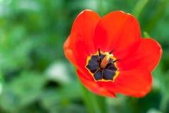Красивый красный крупный план тюльпана Стоковые Фотографии RF