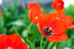 Красивый красный крупный план тюльпанов Стоковые Фото