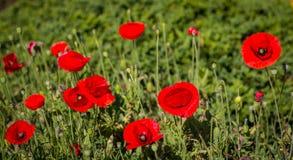 Красивый красный мак в саде Стоковое Изображение RF