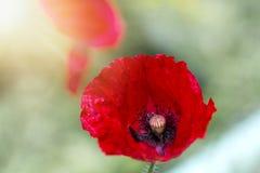 Красивый красный мак в солнечном свете Стоковая Фотография