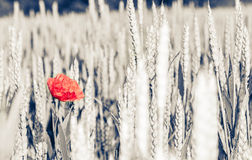 Красивый красный мак на зерне Стоковая Фотография