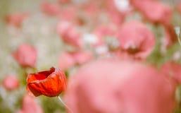 Красивый красный мак на зерне Стоковое Изображение RF