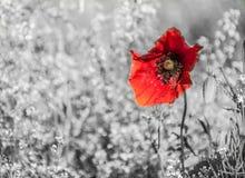 Красивый красный мак на зерне Стоковое Фото