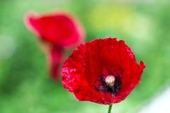 Красивый красный мак на зеленой предпосылке Стоковая Фотография