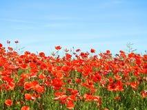 Красивый красный мак цветет в поле, Литве стоковые фото