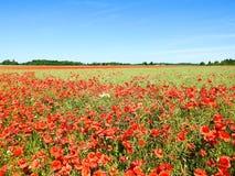 Красивый красный мак цветет в поле, Литве Стоковые Фотографии RF
