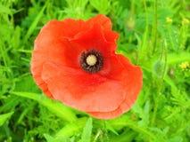 Красивый красный одичалый цветок мака в луге, Литве Стоковая Фотография