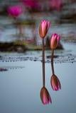 Красивый красный лотос Стоковое Изображение