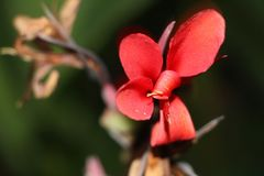 Красивый красный полевой цветок стоковые фотографии rf