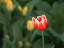 Красивый красный тюльпан в саде стоковое фото rf