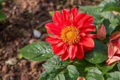 Красивый красный цветок и желтый цветень стоковое фото rf