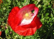 Красивый красный цветок мака, Литва Стоковое фото RF