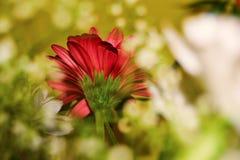 Красивый красный цветок пряча за белое одним стоковое изображение rf