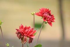 Красивый красный цветок с красивым взглядом Стоковое Изображение RF