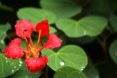 Красивый красный цветок с росой утра Стоковые Изображения