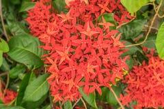 Красивый красный цветок Ixora (sp Ixora ), то стоковая фотография rf