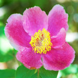 Красивый красный цвет цветет пионы Стоковая Фотография