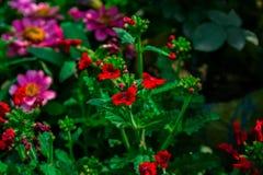 Красивый красный flores усмехаясь под солнцем стоковые изображения