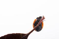 Красивый красный ladybug идя на сухие лист Стоковые Изображения