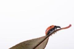 Красивый красный ladybug идя на сухие лист Стоковое фото RF