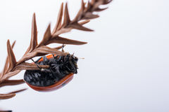 Красивый красный ladybug идя на сухие лист Стоковые Фото