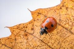 Красивый красный ladybug идя на сухие лист Стоковые Фотографии RF