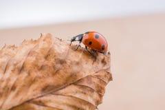 Красивый красный ladybug идя на сухие лист Стоковая Фотография