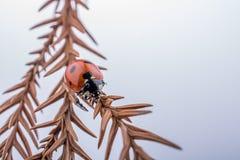 Красивый красный ladybug идя на сухие лист Стоковая Фотография RF