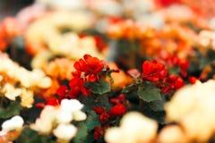 Красивый красочный букет цветка бегонии Стоковые Изображения RF
