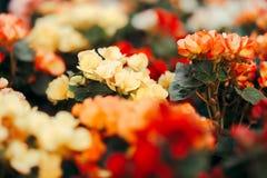 Красивый красочный букет цветка бегонии Стоковая Фотография