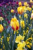 Красивый красочный тюльпан цветет Floriade стоковое фото rf