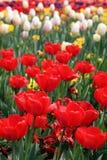 Красивый красочный тюльпан цветет Floriade стоковые изображения rf