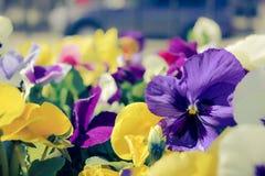 Красивый, красочный, цветки, pansies Pansies для backgroun Стоковое Изображение RF
