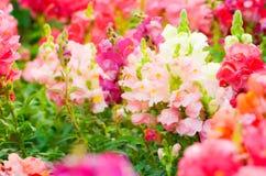 Красивый красочный цветок в саде, красивая природа Стоковые Фотографии RF