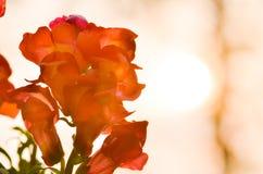 Красивый красочный цветок в саде, красивая природа Стоковые Изображения RF
