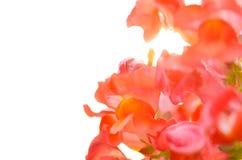 Красивый красочный цветок в саде, красивая природа Стоковые Фото