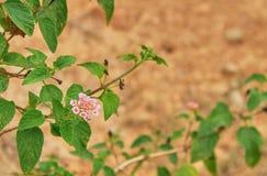 Красивый красочный цветок изгороди, плача Lantana, camara Linn Lantana Стоковые Изображения RF
