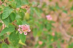 Красивый красочный цветок изгороди, плача Lantana, camara Linn Lantana Стоковое Фото