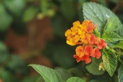 Красивый красочный цветок изгороди, Lantana, плача lantana, Lantana Стоковое фото RF