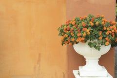 Красивый красочный цветок изгороди, Lantana, плача lantana, Lantana стоковые фотографии rf
