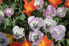 Красивый красочный flowerbed тюльпанов стоковая фотография rf