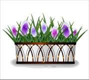 Красивый крокус весны цветет в белом баке Стоковая Фотография RF