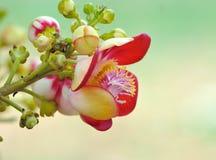 Красивый круглый белый magenta цветок цвета дерева пушечного ядра, дерева соли, соли Индии, guianensis Aubl Couroupita Завод в b Стоковые Изображения