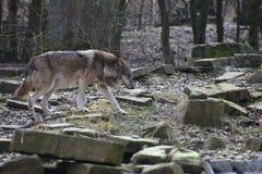 Красивый крупный план одичалого волка в лесе в Германии Стоковое Изображение