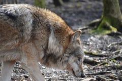 Красивый крупный план одичалого волка в лесе в Германии Стоковое Фото