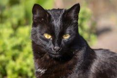 Красивый крупный план портрета черного кота Стоковое Изображение RF