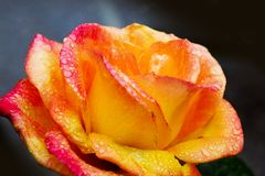 Красивый крупный план розы желтого цвета Стоковые Фото