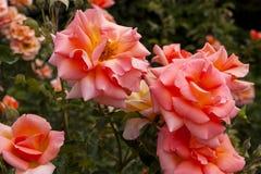 Красивый крупный план роз стоковая фотография rf